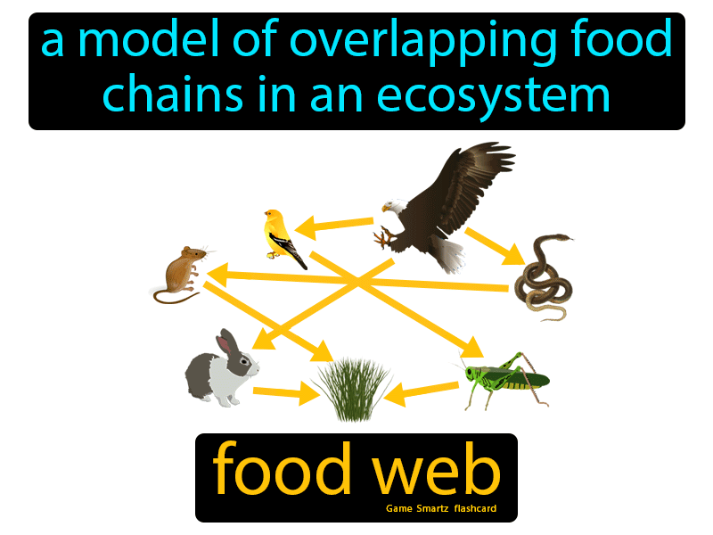 Food Web Definition: A model of overlapping food chains in an ecosystem.