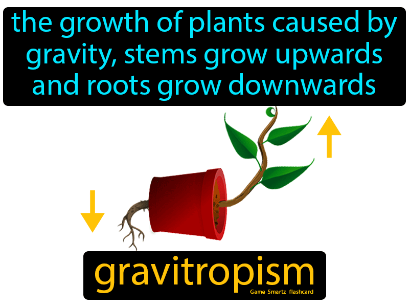 Gravitropism Definition: The growth of plants caused by gravity, stems grow upwards and roots grow downwards. Biology