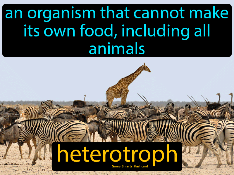 Heterotroph Definition: An organism that cannot make its own food, including all animals. Science.