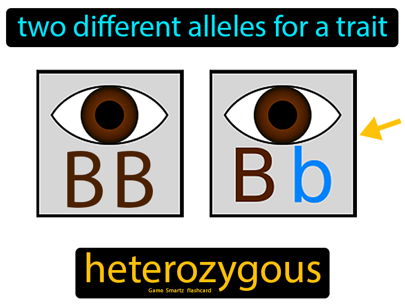 Heterozygous Definition: Two different alleles for a trait. Science.