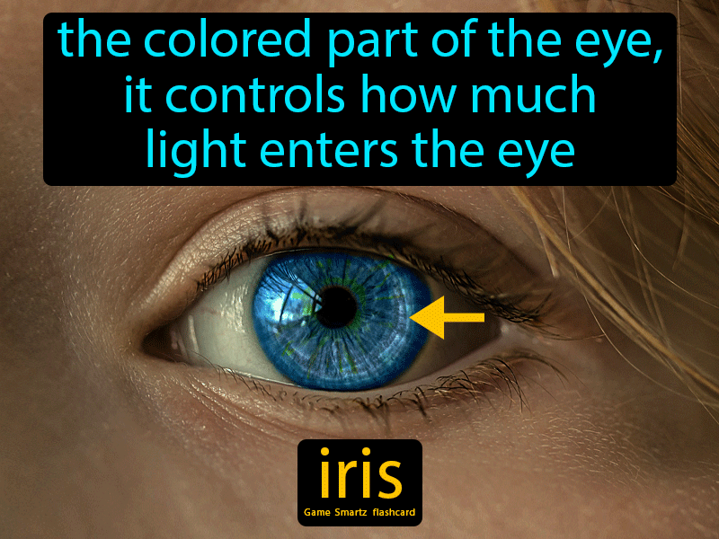 Iris: The colored part of the eye, it controls how much light enters the eye.