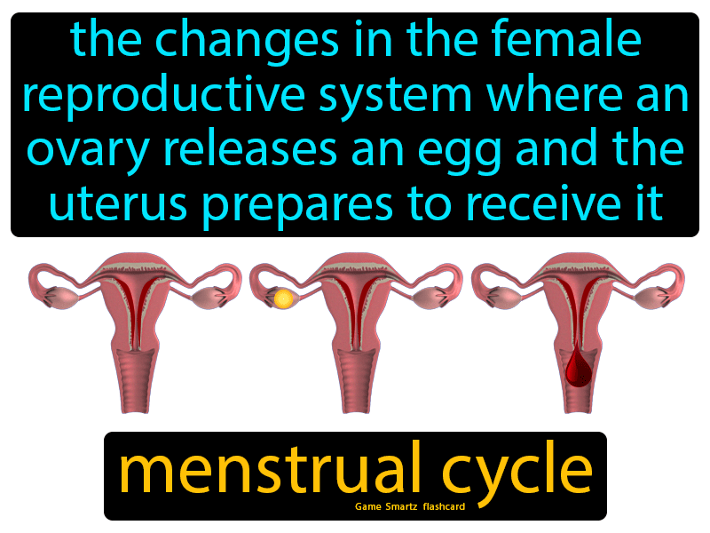 Menstrual cycle with definition: the changes in the female reproductive system where an ovary releases an egg and the uterus prepares to receive it.