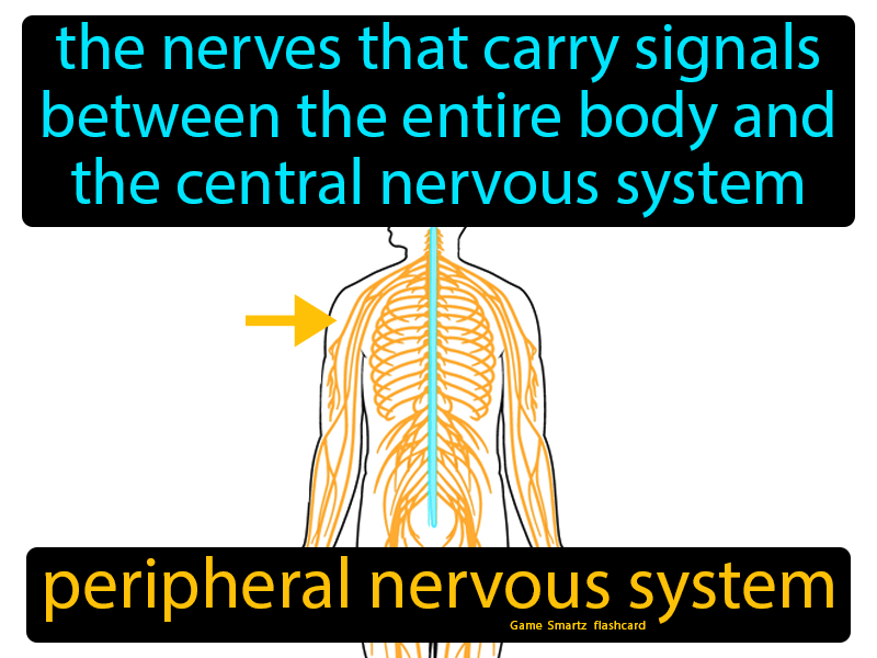 Peripheral Nervous System: The nerves that carry signals between the entire body and the central nervous system.
