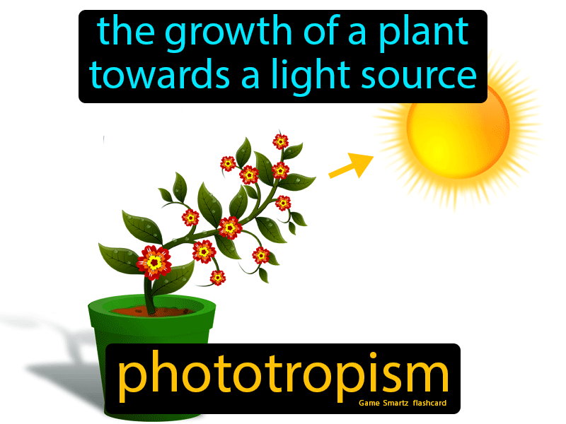 Phototropism Definition: The growth of a plant towards a light source. Science.