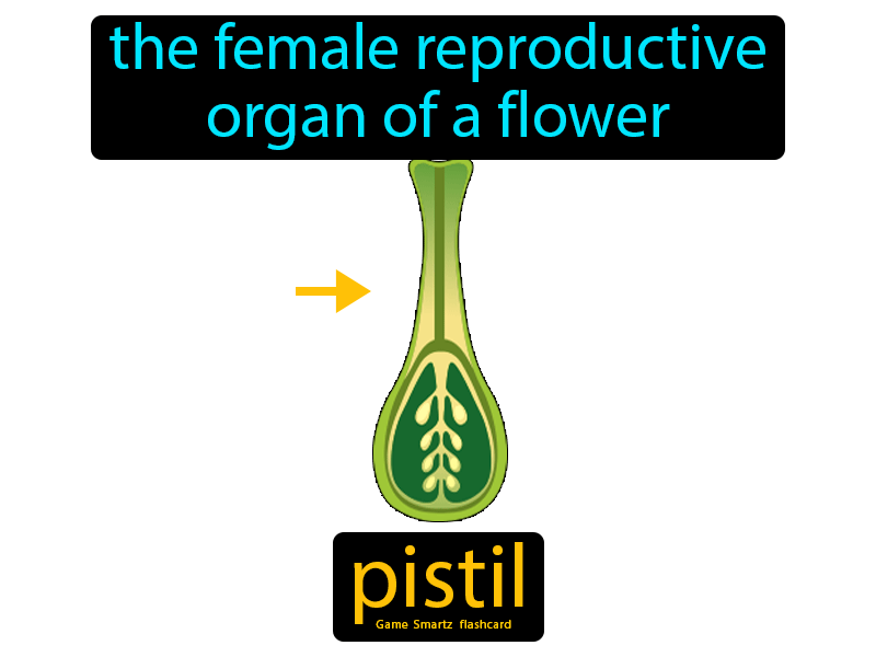 Pistil Definition: The female reproductive organ of a flower. Life Science