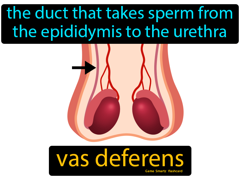 Vas deferens, the duct that takes sperm from the epididymis to the urethra.